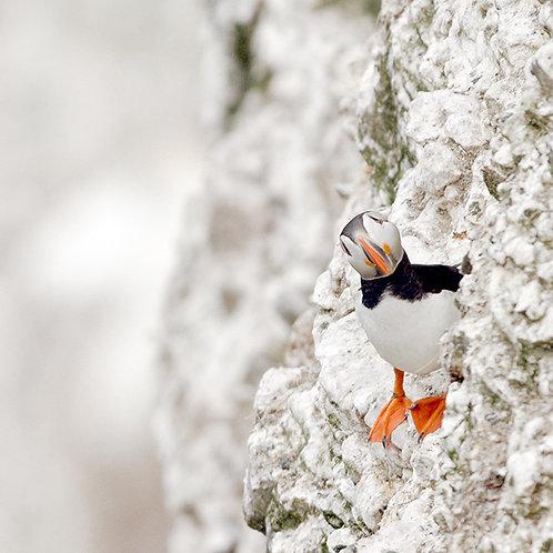 Puffin Peek - Bempton Cliffs