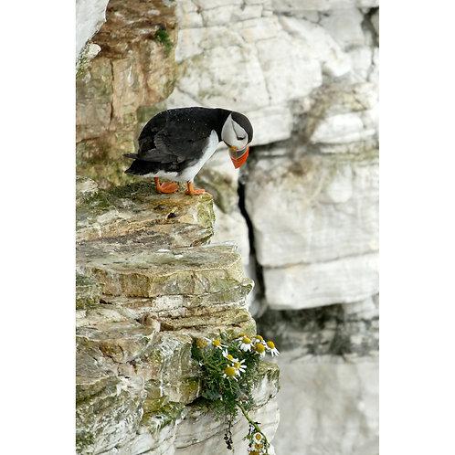 Puffin - Bempton Cliffs Jigsaw