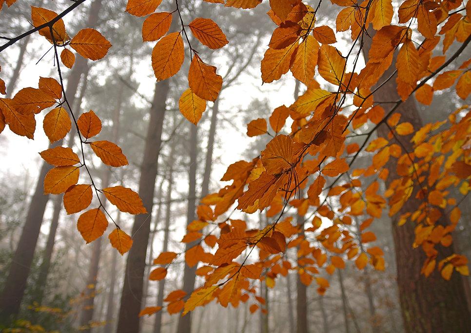 PineWoodsAutumnflow15x10.jpg