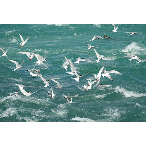 Arctic Terns Fishing (Canvas)