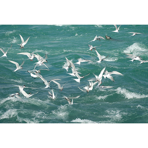 Arctic Terns fishing Jigsaw