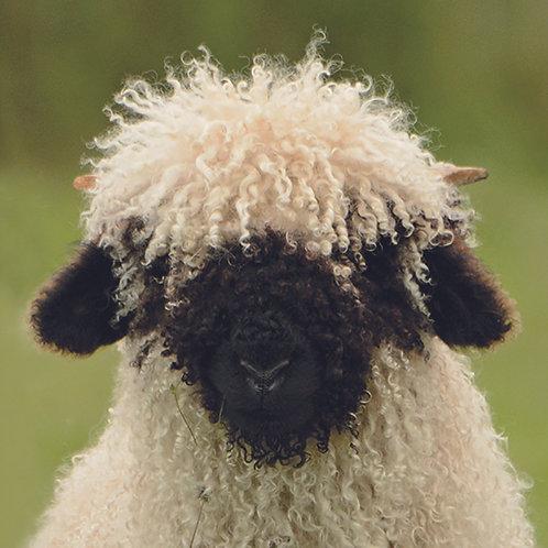 Valais Blacknose (Lamb)