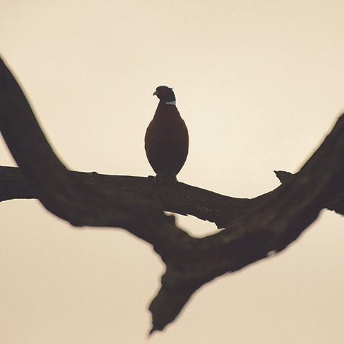 Roosting Pheasant