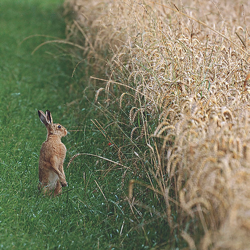 Tiptoe Hare