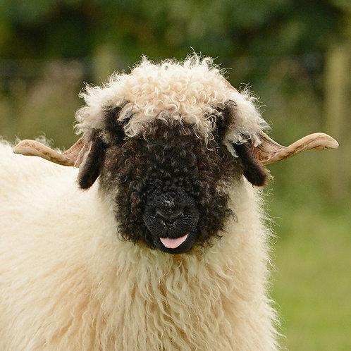Valais Blacknose (Cheeky)