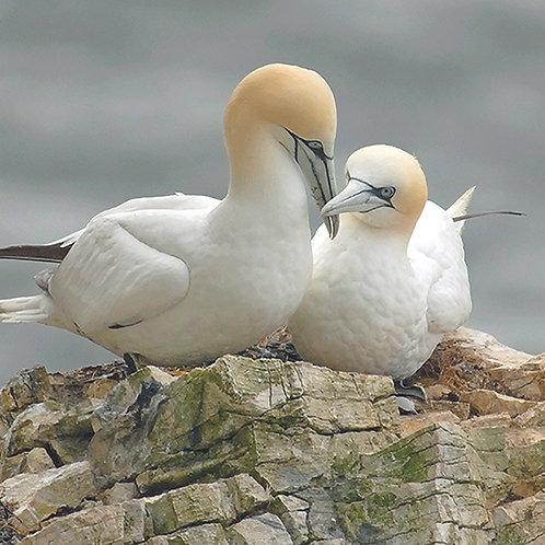 Gannets - Bempton Cliffs