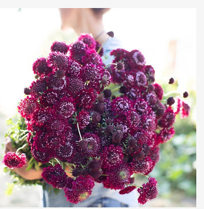 Pincushion Flower Summer Sangria - 4 pack