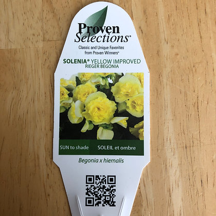 Begonia x Hiemalis - Solenia Yellow Improved : 5 inch pot