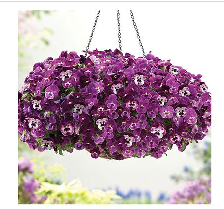 Pansy Cool Wave Raspberry : 4 inch pot