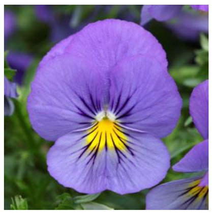Blue Skies Wave Pansy : 4 inch pot