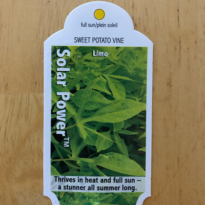 Sweet Potato Vine - Solar Power Lime : 4 inch pot