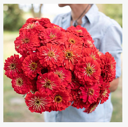 Zinnia Benary's Giant Coral : 4 pack