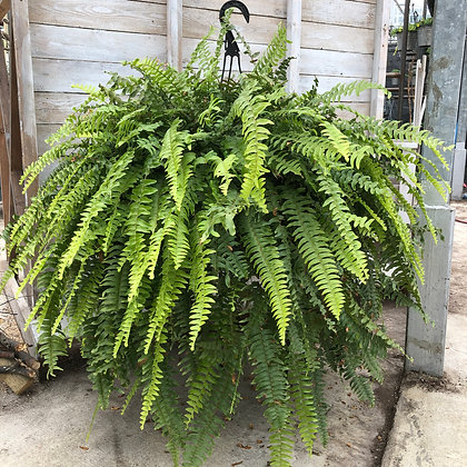 Fern Hanging Basket : 12 inch