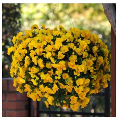Pansy Cool Wave Golden Yellow : 4 inch pot
