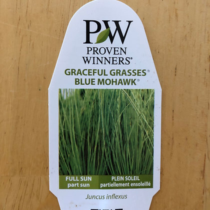 Juncus inflexus - Graceful Grasses Blue Mohawk : 1 gallon pot