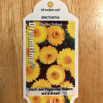 Bracteantha - Dreamtime Jumbo Yellow - 4 inch pot