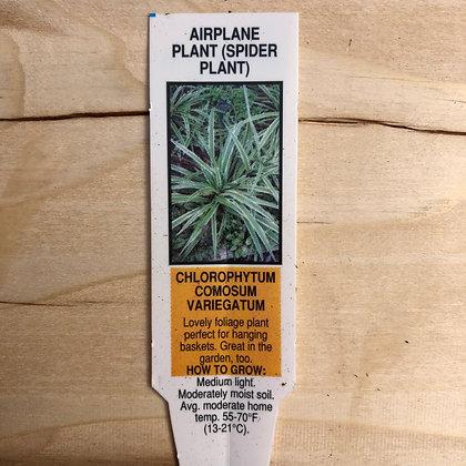 Spider Plant : 5 inch pot