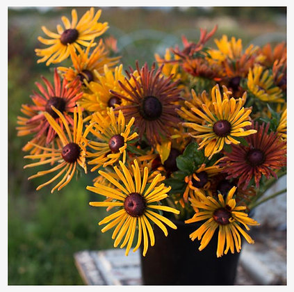 Black Eyed Susan Chim Chiminee : 2.5 inch pot