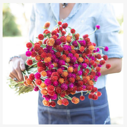Globe Amaranth Sunset Mix : 4 pack