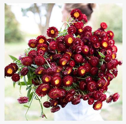 Strawflower Scarlet : 4 pack