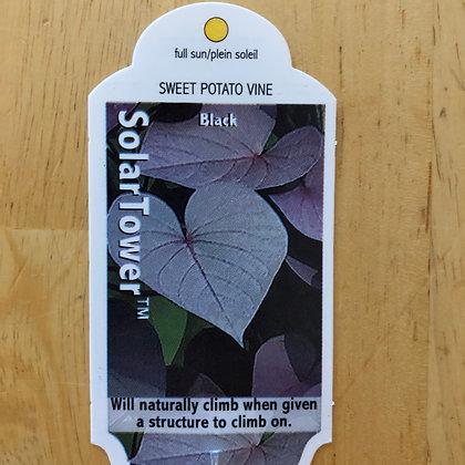 Sweet Potato Vine - SolarTower : 1 gallon pot