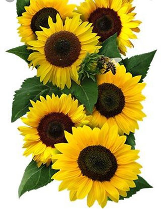 Sunflower - Large Dwarf Sunspot Sunflower : 6 pack