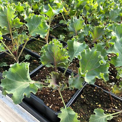 Ornamental Kale : 4 inch pot