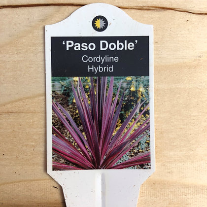 Cordyline Hybrid - 'Paso Doble' - 5 inch pot