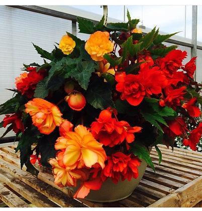 Begonia Hanging Basket mixed colors - 12 inch (Shade)