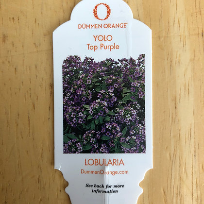 Lobularia - YOLO Top Purple : 4 inch pot