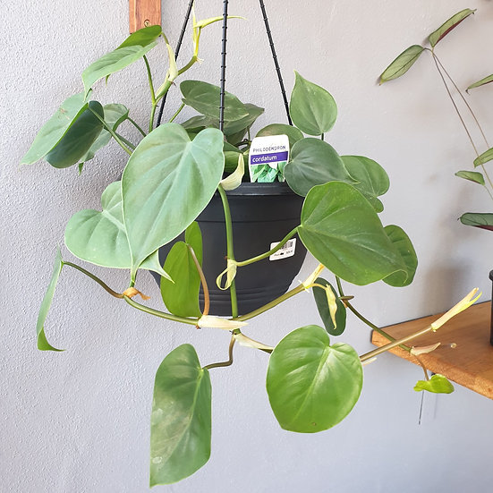 Philodendron Cordatum Hanging Basket 250mm