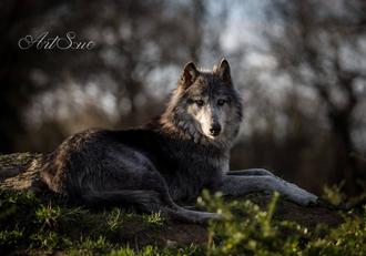 Spectacle de loups à La Ferme du Monde