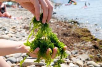 Découverte des algues comestibles et degustation