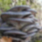oyster-mushroom_pixabay_620x.jpg