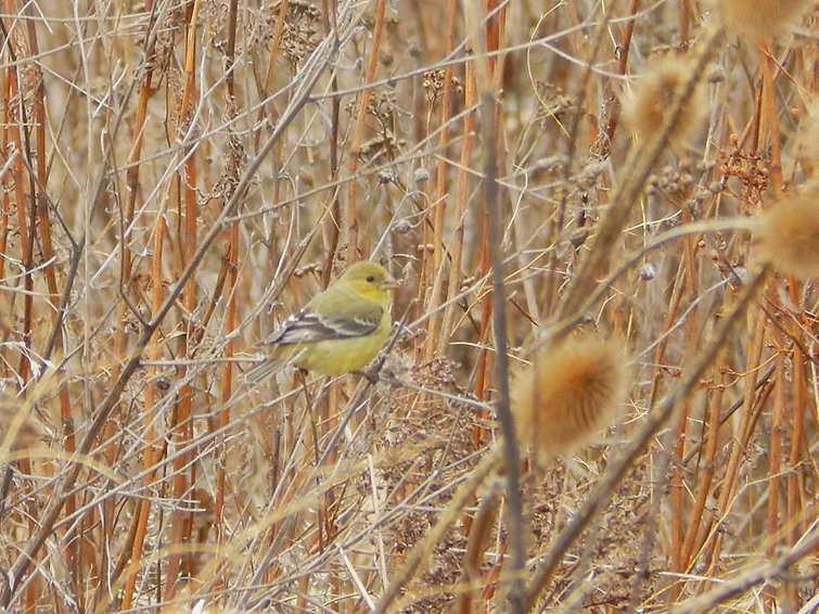 A cute litle yellow bird resting on some thistle branches.