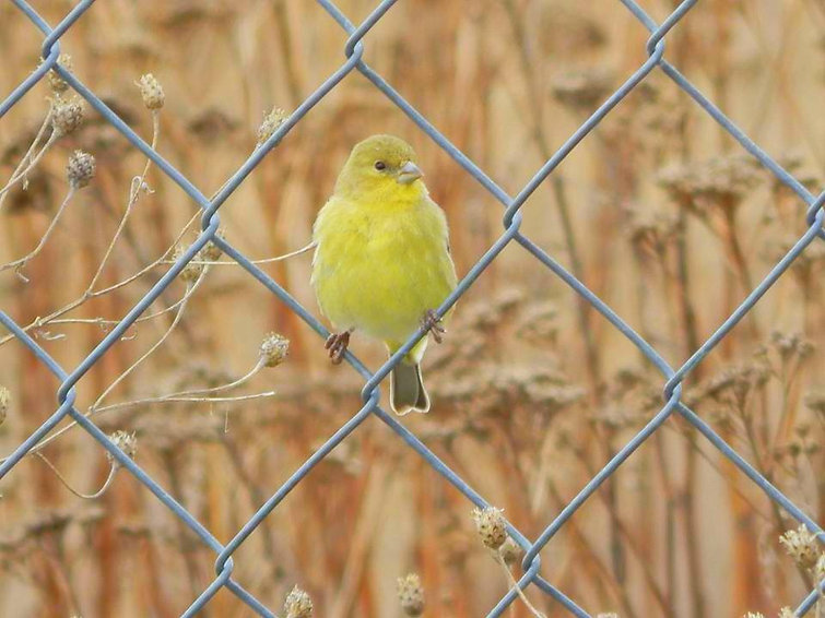 A very close photo of a beautiful little yellow bird holding onto two opposite wires on the chainlink fence surrounding the Scenic 6 Park in Potlatch, Idaho. The background of the photo is muted with drying flowers and grasses.