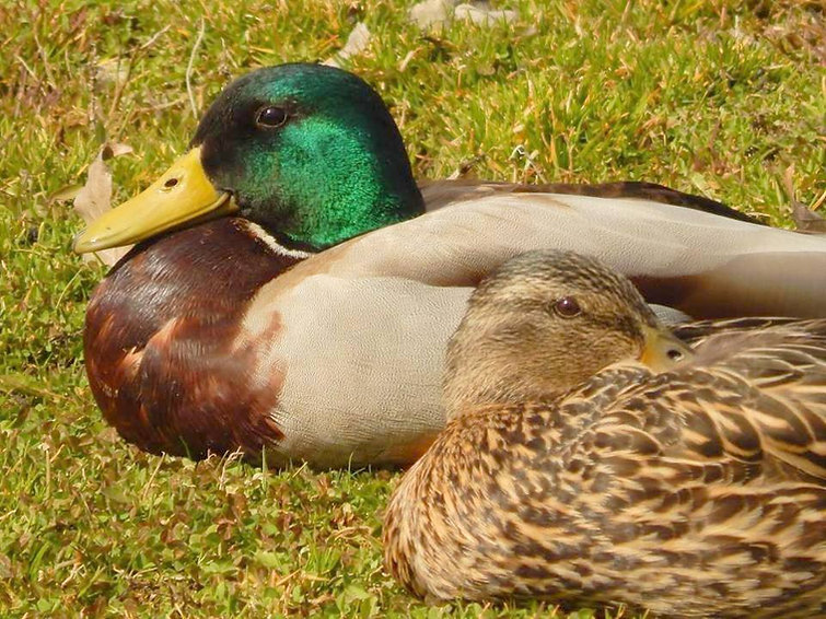 A colorful male and equally beautiful female mallard ducks resting ont he ground in the Scenic 6 Park in Potlatch, Idaho.