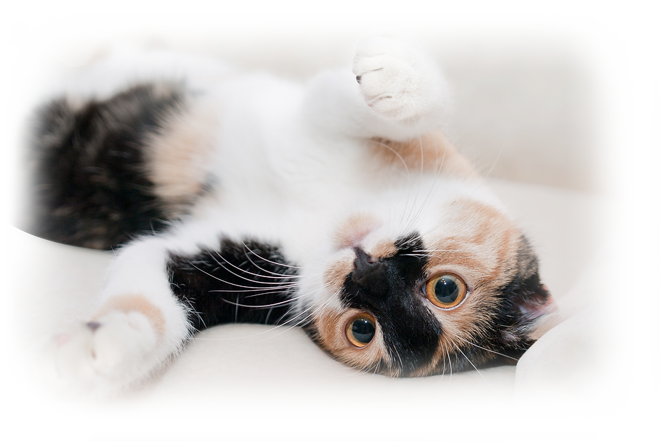 How to remove cat urine smell from carpet
