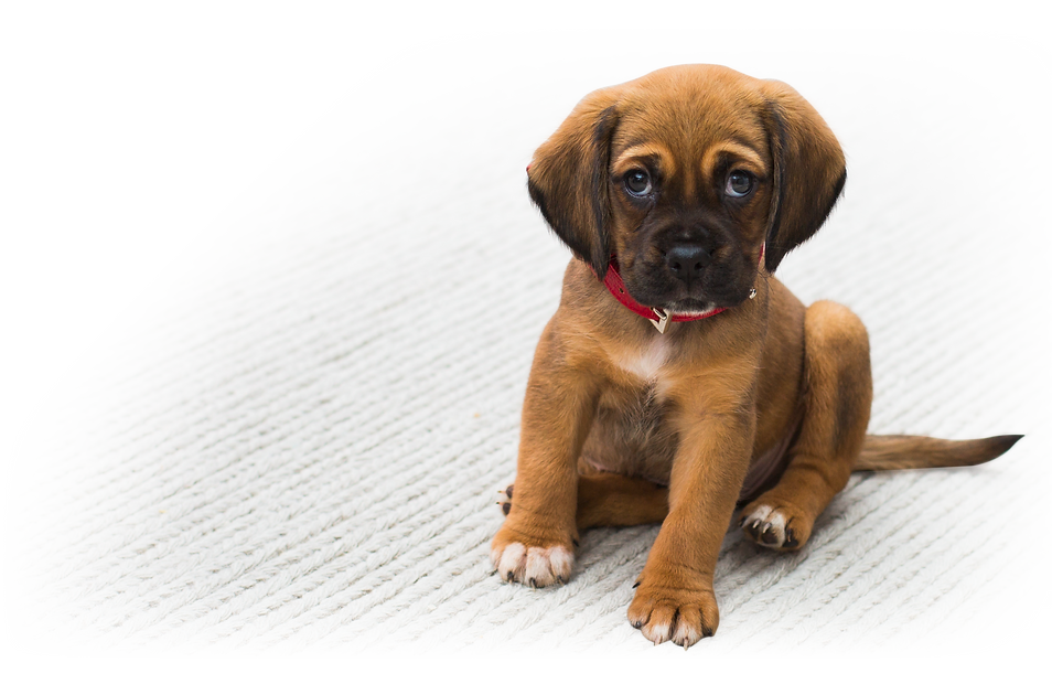 How to remove pet urine from carpets