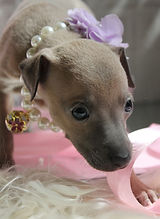 щенок левретки