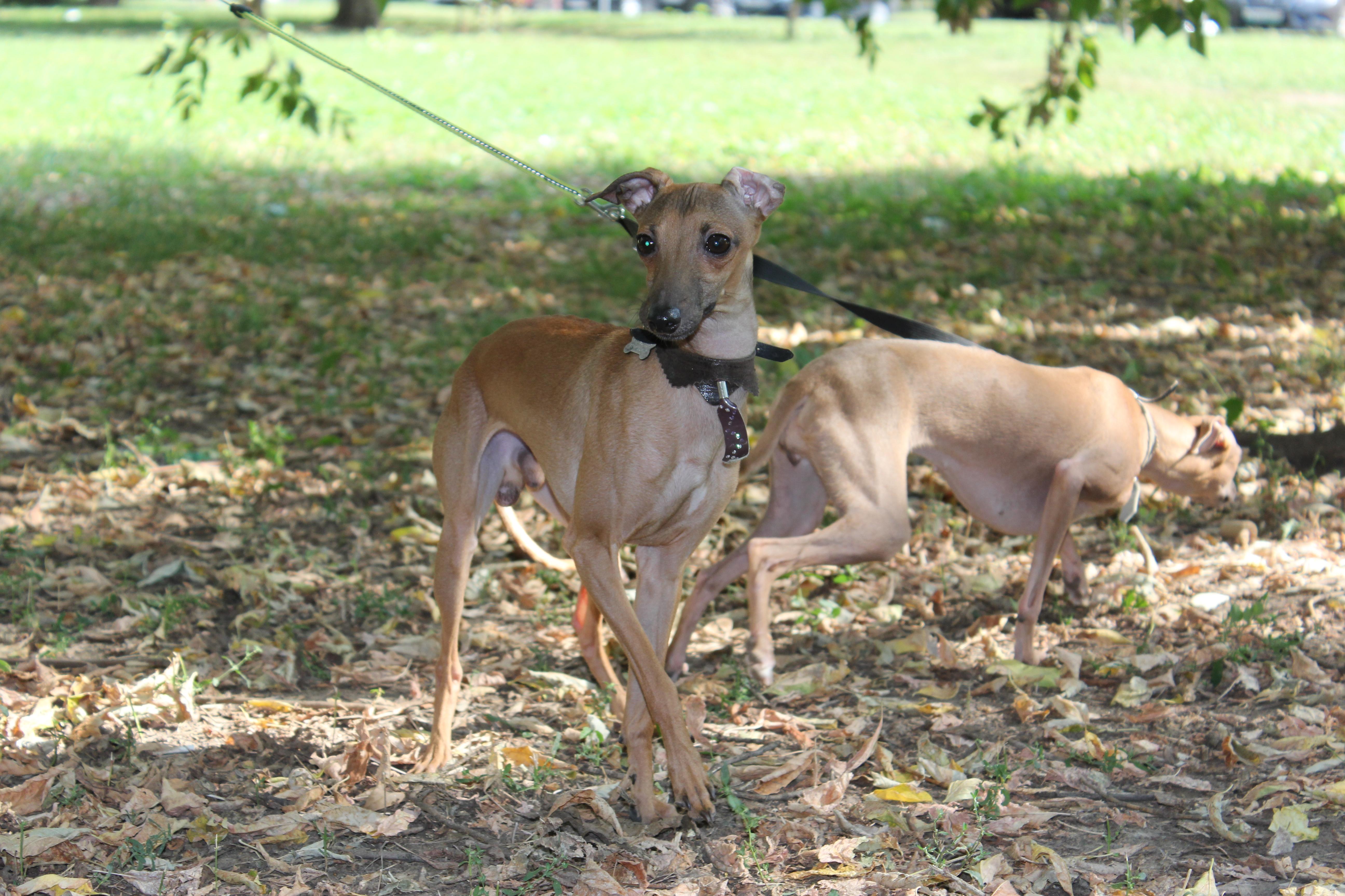 купить щенка www.levretki.com