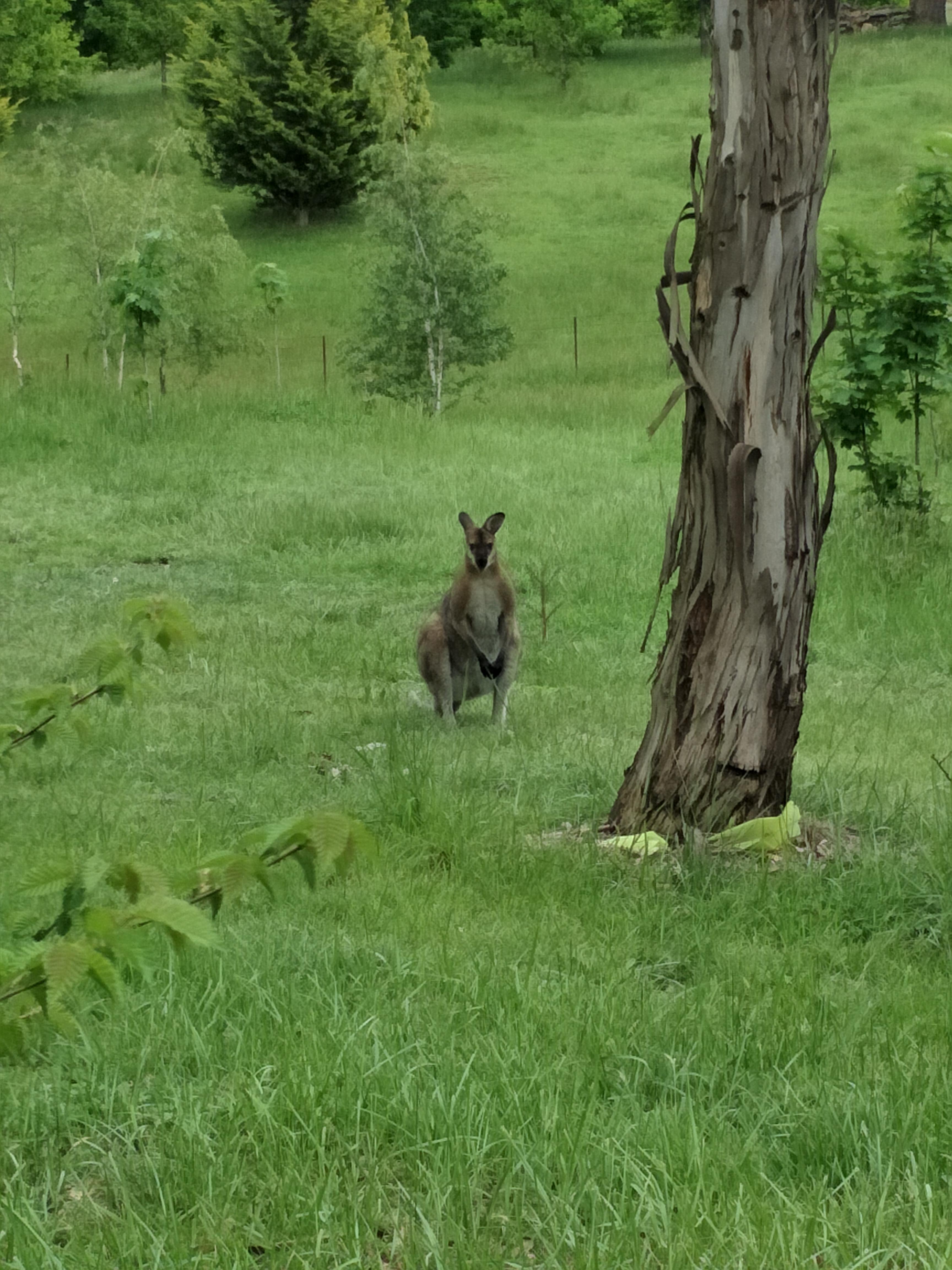 Lisa the Wallaby
