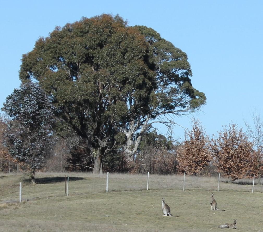 View - Kangaroos