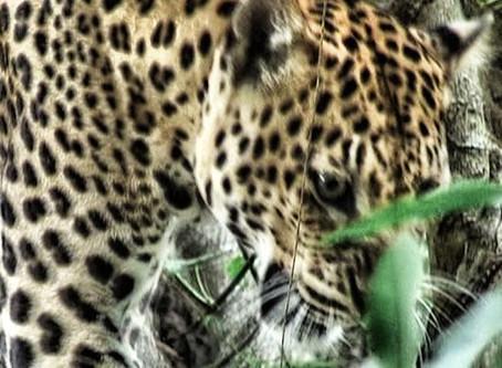 Le léopard au Cambodge