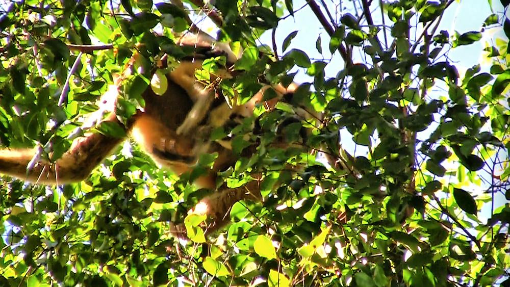 Une espèce de gibbon (Nomascus annamensis) découverte en 2010 seulement, non loin de la station de Veun Sai-Siem Pang. Nous avons pu observer, à environ 35 mètres de hauteur, une femelle et son petit