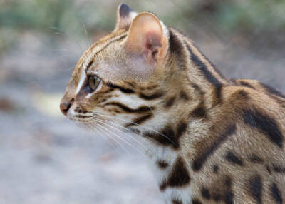 Chat-léopard relâché en décembre 2020 dans la forêt d'Angkor