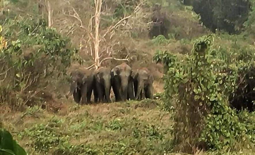 Mondolkiri : Les éléphants sauvages se rapprochent des habitations