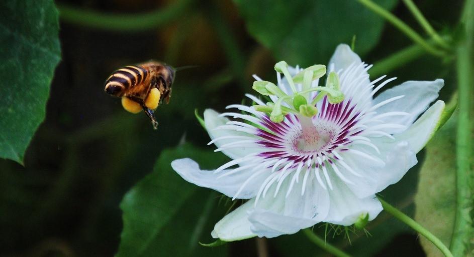 Pollinisation du fruit de la passion par Apis cerana (photo Malay So)