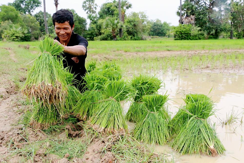 Récolte du riz. Photographie EIF