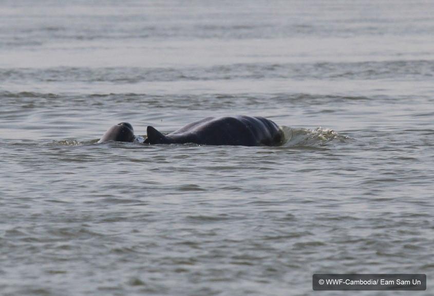 Sixième naissance d'un bébé dauphin à Kratié